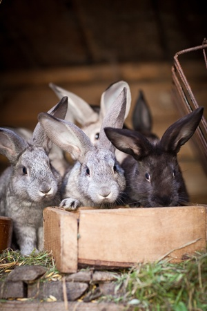 the hutch: Young rabbits popping out of a hutch (European Rabbit - Oryctolagus cuniculus)