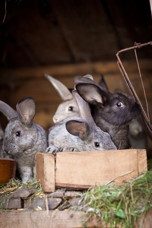 popping out: Young rabbits popping out of a hutch (European Rabbit - Oryctolagus cuniculus)