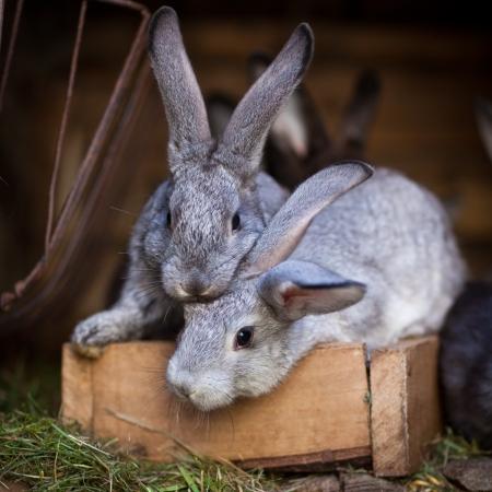 rabbit cage: Conigli giovani saltar fuori di una hutch (Coniglio europeo - Oryctolagus cuniculus)