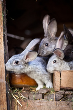 hutch: Young rabbits popping out of a hutch (European Rabbit - Oryctolagus cuniculus)