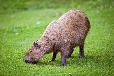 Capybara (Hydrochoerus hydrochaeris) grazing on fresh green grass Фото со стока - 11533727