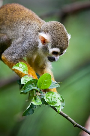 squirrel monkey: Close-up of a Common Squirrel Monkey (Saimiri sciureus; shallow DOF) Stock Photo