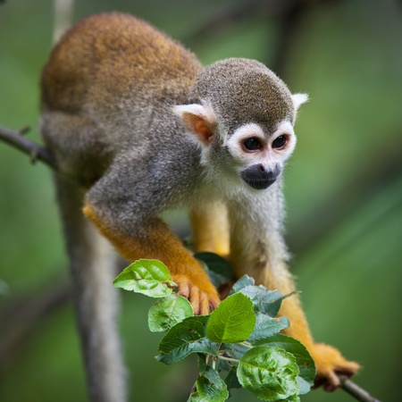 Close-up of a Common Squirrel Monkey (Saimiri sciureus; shallow DOF) Stock Photo