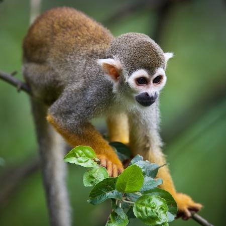 sciureus: Close-up of a Common Squirrel Monkey (Saimiri sciureus; shallow DOF) Stock Photo