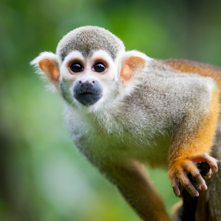 monkey face: Close-up of a Common Squirrel Monkey (Saimiri sciureus; shallow DOF) Stock Photo