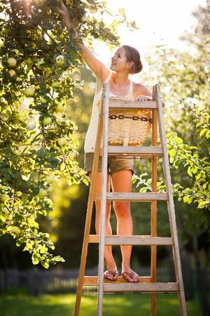 Mujer joven en una escalera recogiendo manzanas de un �rbol de manzana en un d�a soleado de verano preciosa photo