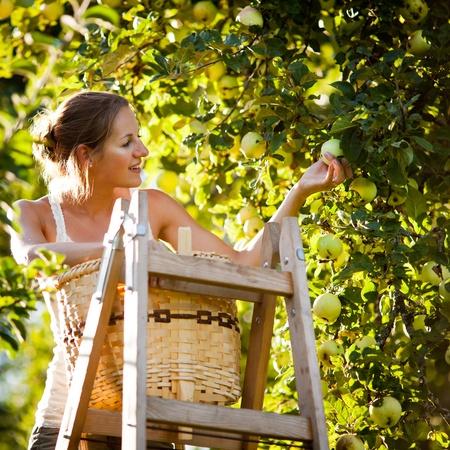arbol de manzanas: Mujer joven en una escalera recogiendo manzanas de un �rbol de manzana en un d�a soleado de verano preciosa
