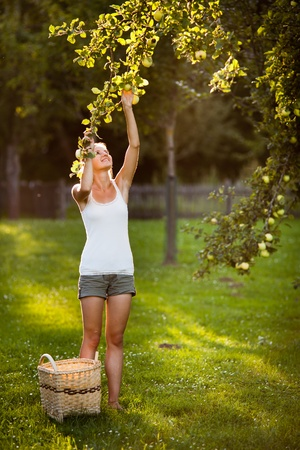 picking up: Young woman up on a ladder picking apples from an apple tree on a lovely sunny summer day
