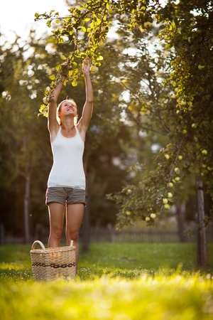 Young woman up on a ladder picking apples from an apple tree on a lovely sunny summer day Stock Photo - 11940529