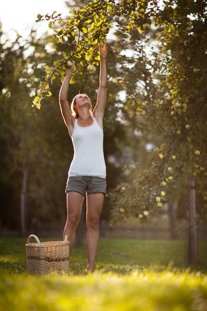 Young woman up on a ladder picking apples from an apple tree on a lovely sunny summer day Stock Photo - 11940525