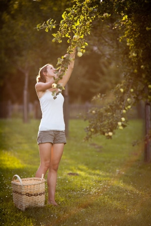 Young woman up on a ladder picking apples from an apple tree on a lovely sunny summer day Stock Photo - 11940547