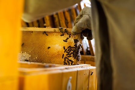 Beekeeper in an apiary holding a frame of honeycomb covered with swarming bees Stock Photo