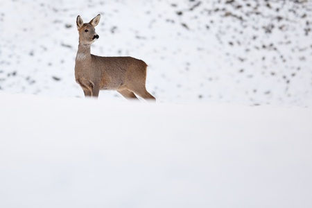 Roebuck (capreolus capreolus) in winter photo