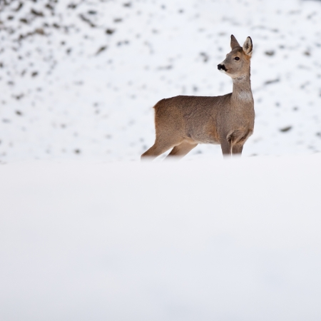 capreolus: Roebuck (capreolus capreolus) in winter Stock Photo