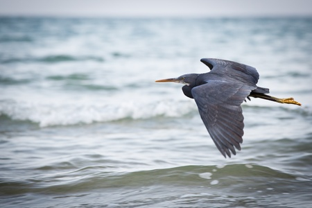 Western Reef Heron (Egretta gularis) photo