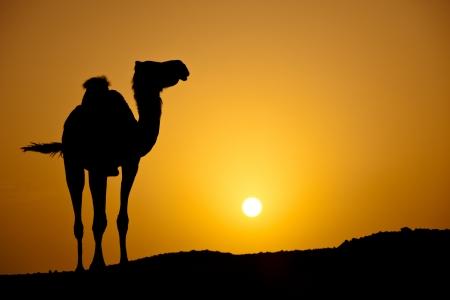 going down: Sol que se esconde en un caluroso desierto: la silueta de un camello salvaje en el atardecer