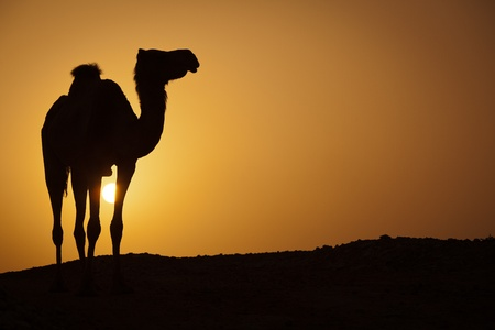 Sun going down in a hot desert: silhouette of a wild camel at sunset photo