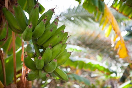 Bunch of bananas hanging from a banana tree (Salalah, Oman) photo