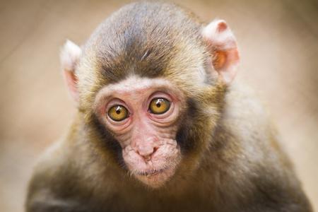 Closeup of a baby Japanese macaque (Macaca fuscata) Stock Photo