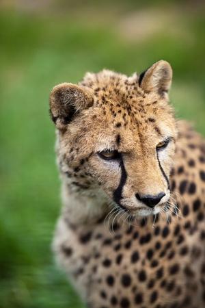 jubatus: Cheetah (Acinonyx jubatus) Stock Photo