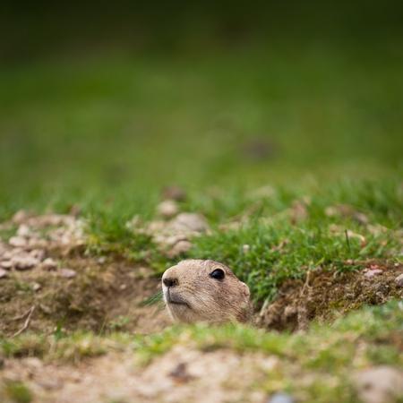 very cute black tailed prairie dog (Cynomys ludovicianus) photo