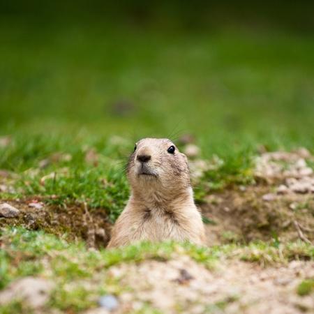 dog rock: very cute black tailed prairie dog (Cynomys ludovicianus)