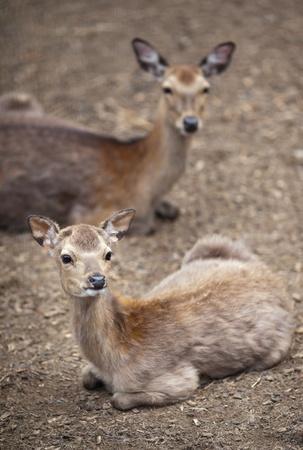 sika deer (lat. Cervus nippon) Stock Photo - 12655097