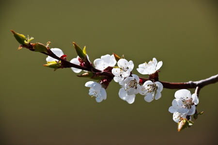 Spring - blossoming apple tree photo