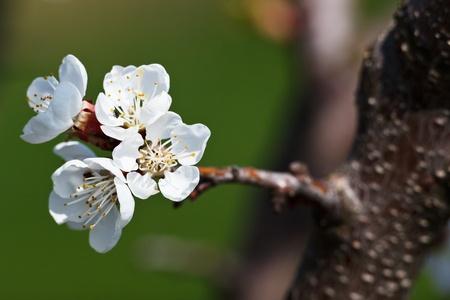 Spring - blossoming apple tree against lovely green background 版權商用圖片