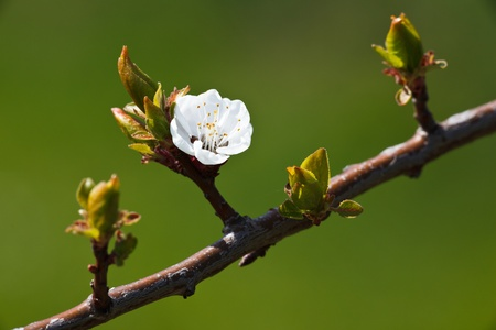 apricots: Spring - blossoming apple tree against lovely green background Stock Photo