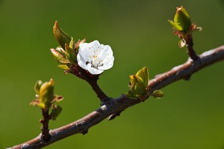 Spring - bloeiende appelboom tegen de mooie groene achtergrond Stockfoto