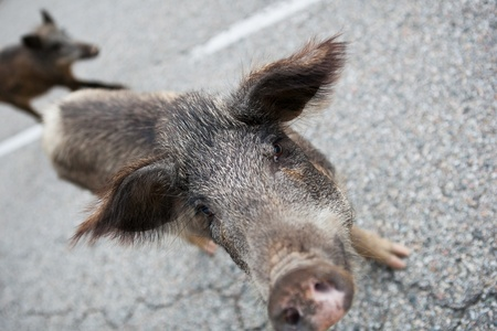 Wild boars (Sus scrofa) crossing the road photo