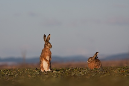 fugitive: Brown hare (lepus europaeus)
