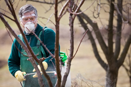 Using chemicals in the garden orchard  gardener applying an insecticide a fertilizer to his fruit shrubs, using a sprayer photo
