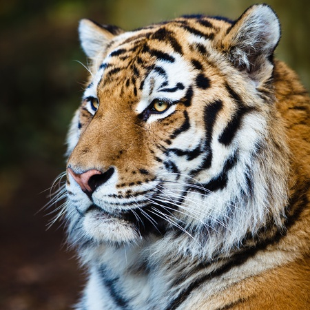 Primer plano de un tigre siberiano, también conocido como tigre de Amur (Panthera tigris altaica), el gato vivo más grande