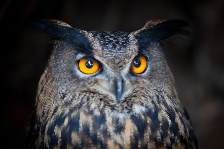 Closeup of a Eurasian Eagle-Owl (Bubo bubo) photo