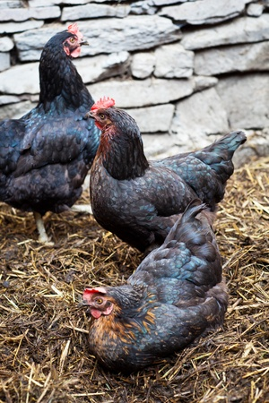 Closeup of a hen in a farmyard (Gallus gallus domesticus) photo