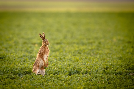 herbivore natural: Brown hare (lepus europaeus)