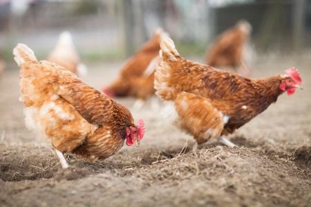 domesticus: Closeup of a hen in a farmyard (Gallus gallus domesticus)