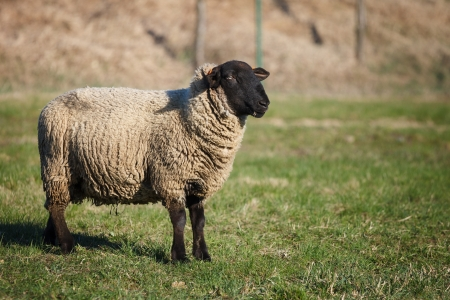 ovis: Suffolk black-faced sheep (Ovis aries) grazing on a meadow