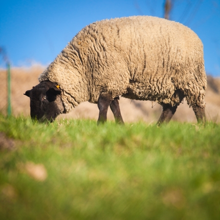 ewe: Suffolk black-faced sheep (Ovis aries) grazing on a meadow