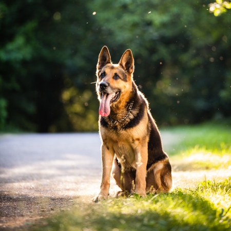 Beautiful German Shepherd Dog (Alsatian) outdoors, in warm evening light photo