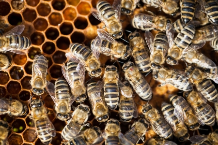 Macro shot of bees swarming on a honeycomb photo