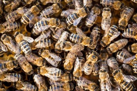 abeja reina: Macro disparo de un enjambre de abejas en un panal de abejas