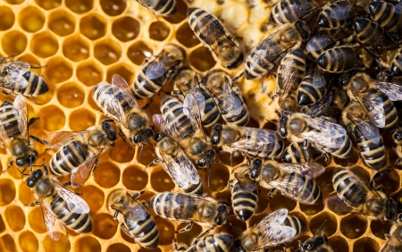 apis: Macro shot of bees swarming on a honeycomb Stock Photo