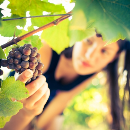 food inspection: Grapes in a vineyard being checked by a female vintner