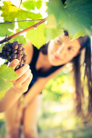Grapes in a vineyard being checked by a female vintner  photo