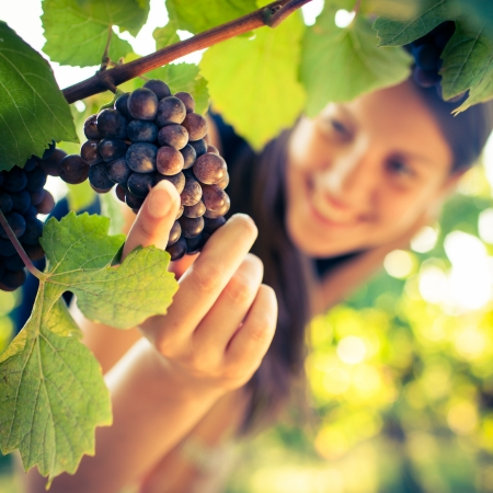 winery: Grapes in a vineyard being checked by a female vintner