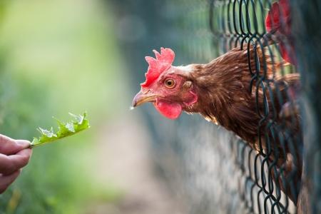 granja avicola: gallina en un corral (Gallus gallus domesticus) Foto de archivo