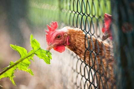 hen in a farmyard (Gallus gallus domesticus) Stock Photo - 14151687